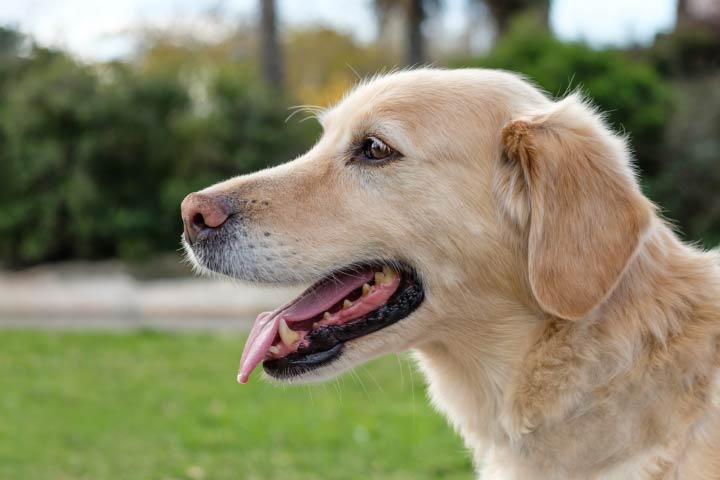 Labrador-Retriever-Dog