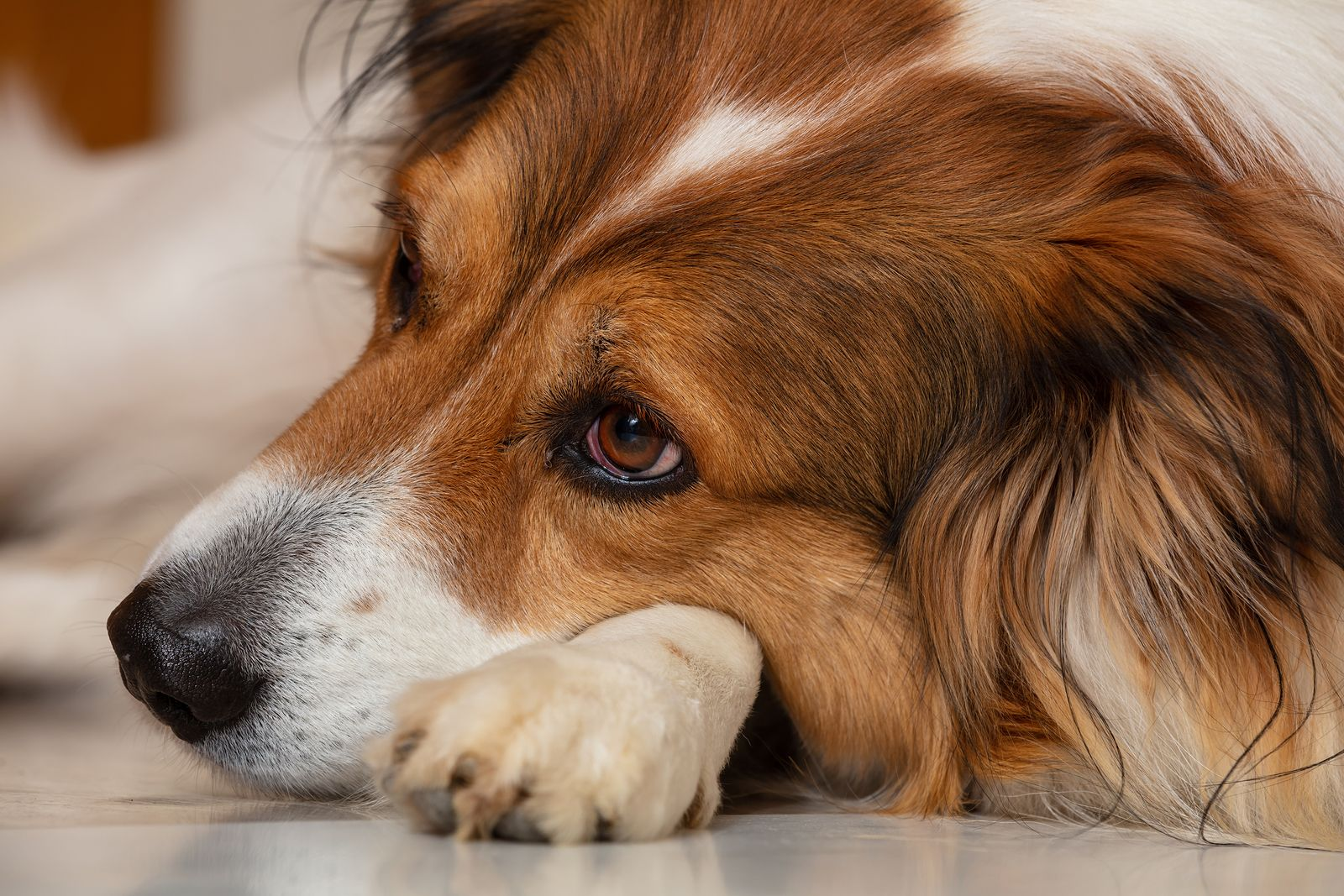Sad-Dog-Cute-White-Brown-Dog--287263330