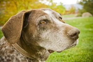 Sweet-Old-Hunting-Dog-3952365