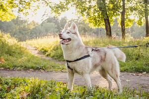 Young-Husky-Dog-For-A-Walk