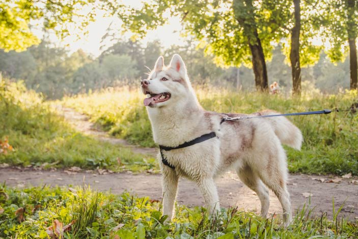 Young-Husky-Dog-For-A-Walk
