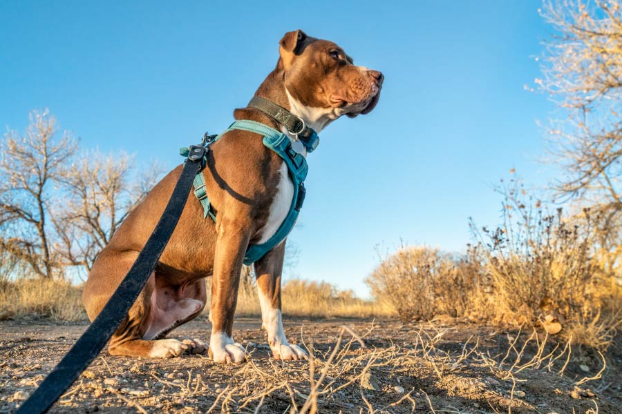 Young-pit-bull-terrier-dog