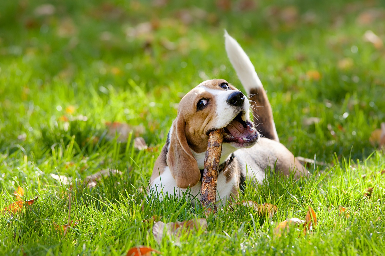 bigstock-Beagle-in-green-grass-52441645