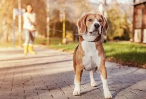 bigstock-Beagle-walk-on-long-lead-at-th-74916634