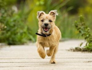 bigstock-Cairn-Terrier-Puppy-74624260