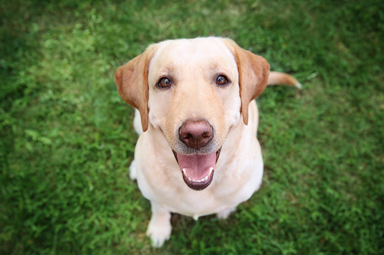 bigstock-Cute-Labrador-Retriever-in-par-211392823