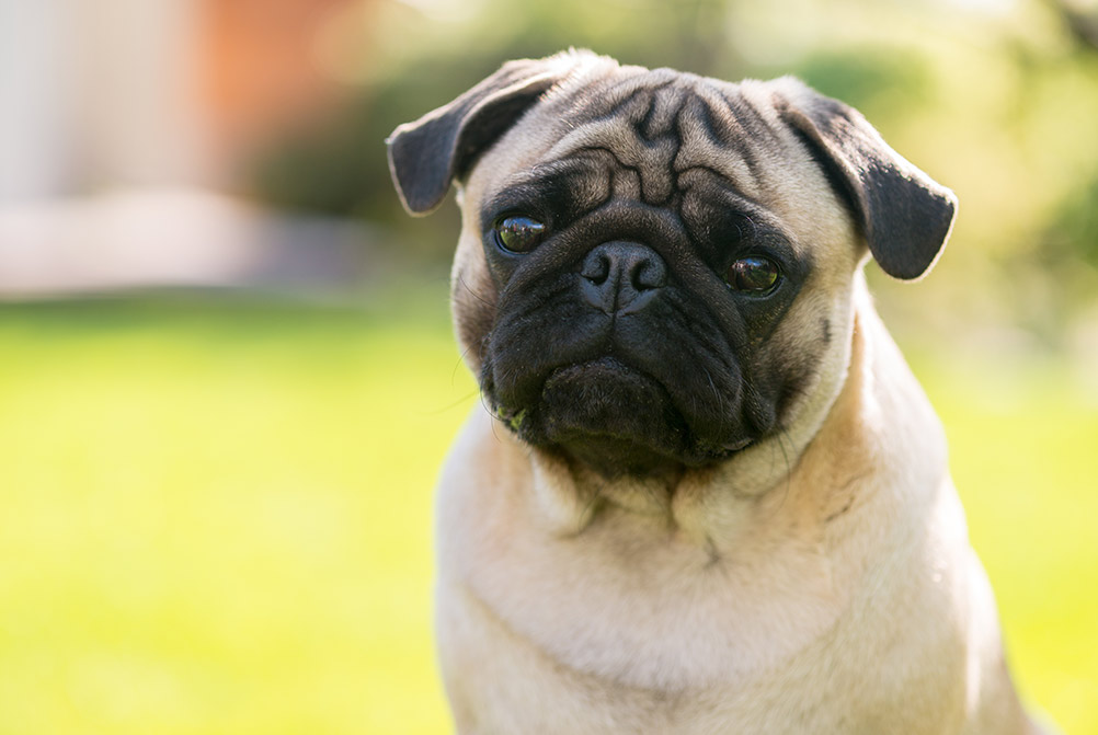 bigstock-Cute-Male-Pug-On-Green-Backgro-101063459