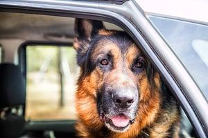 bigstock-Dog-German-Shepherd-In-A-Car-I-272719807