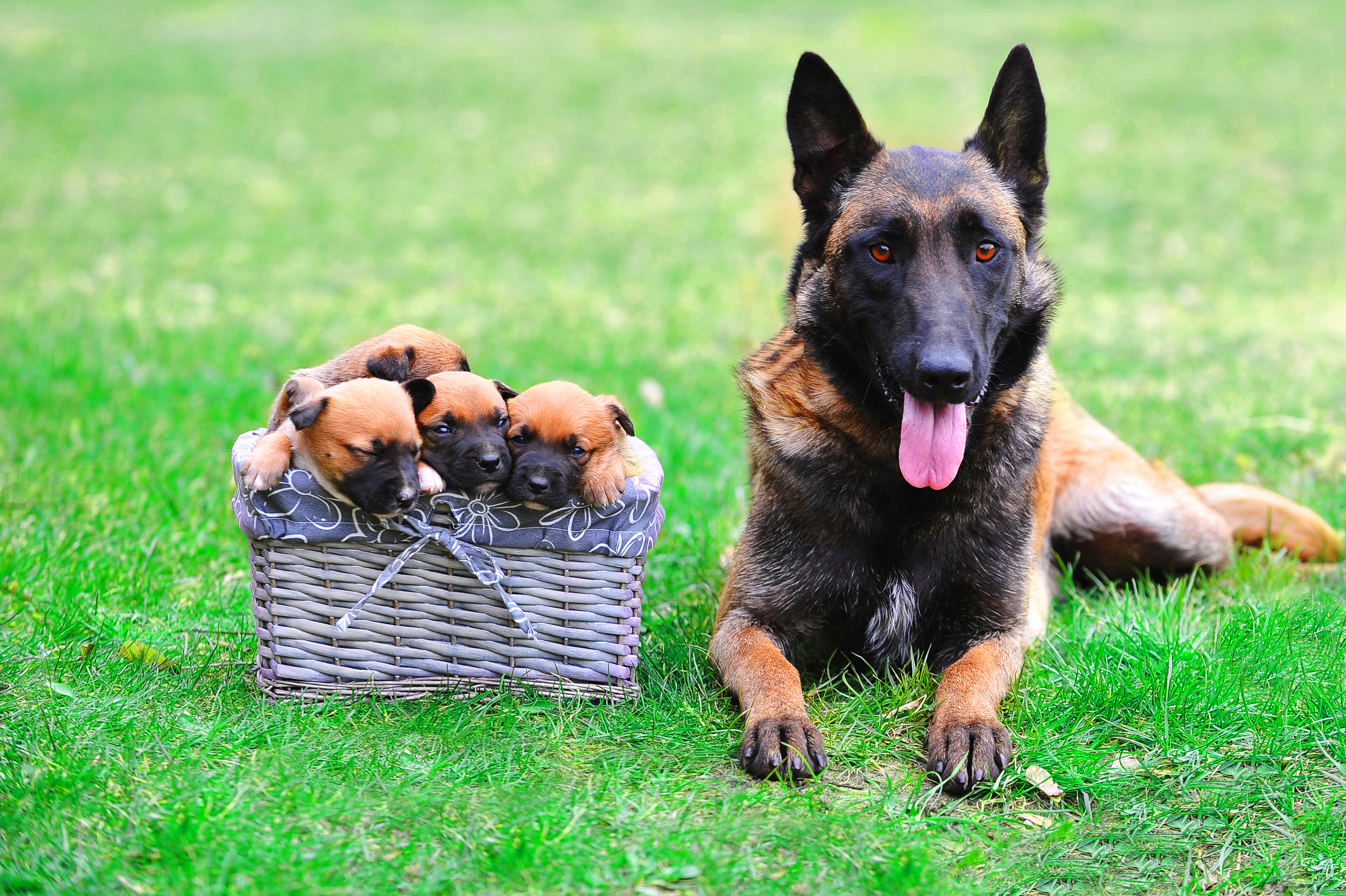 bigstock-Dog-With-Puppies-120625430