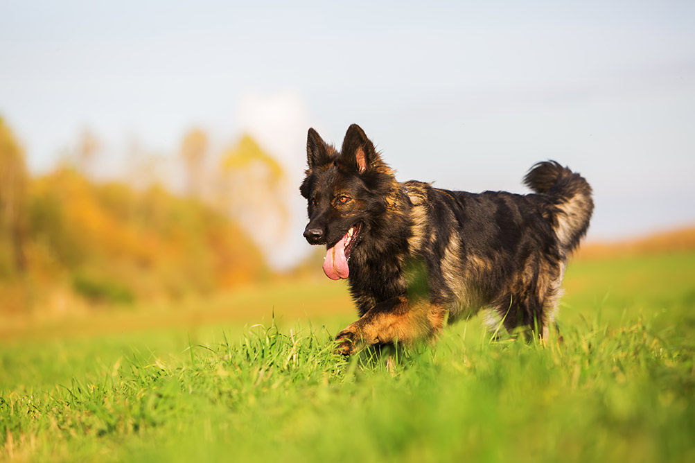 bigstock-German-Shepherd-Dog-Running-On-155021282