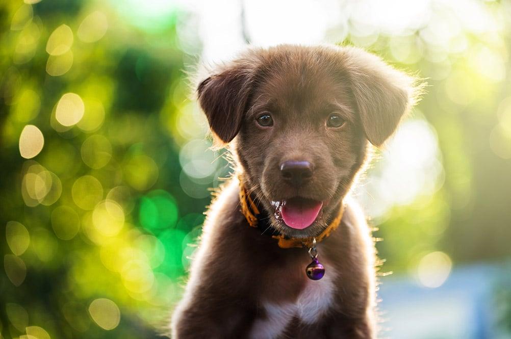 bigstock-Labrador-Puppy-Dog-With-Bokeh--165534608