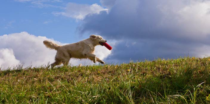 bigstock-Labrador-Retriever-Running-In-Grass (reduced)-2