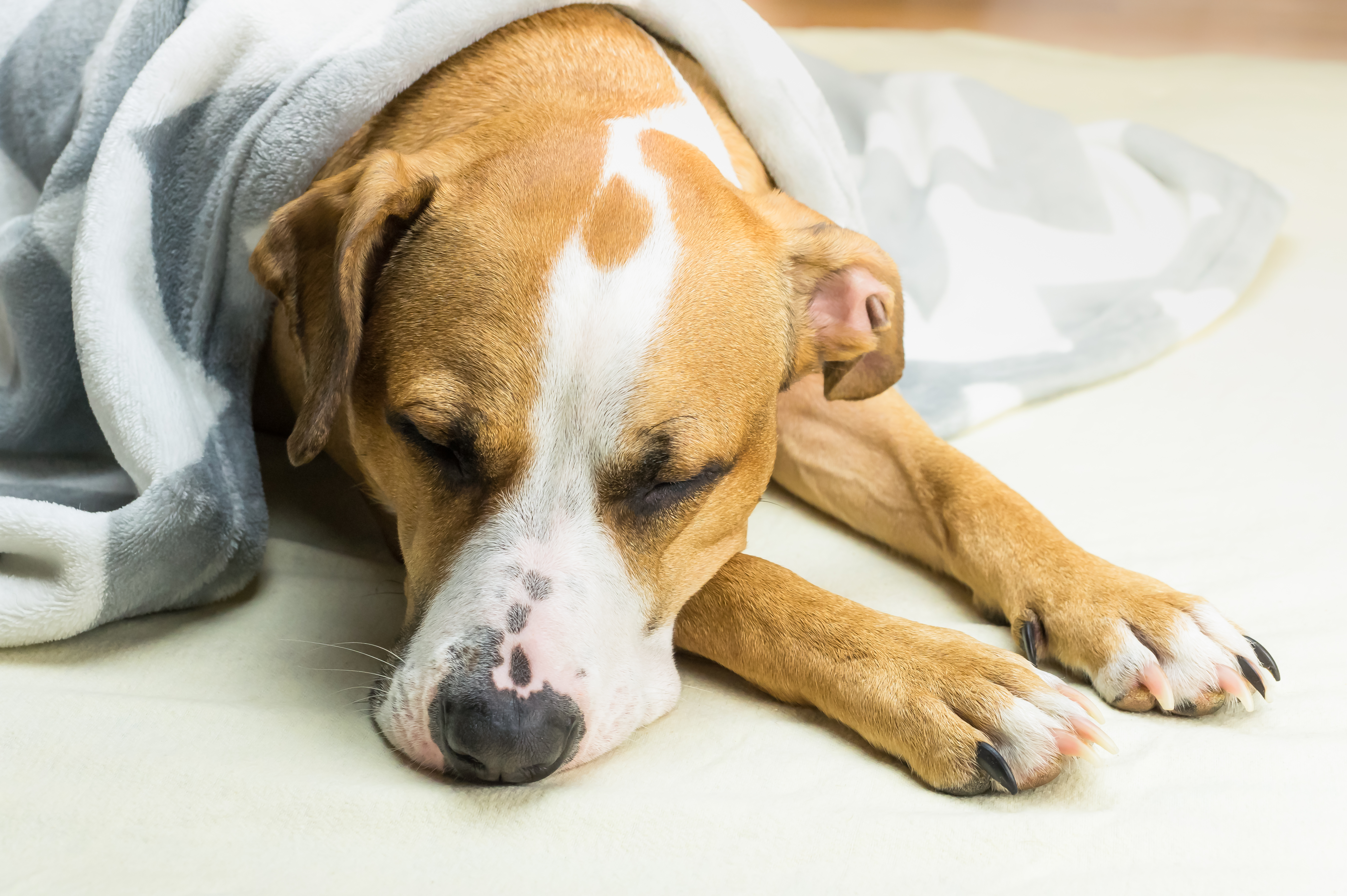 bigstock-Lazy-Or-Sick-Pet-Dog-Relaxing--232234681