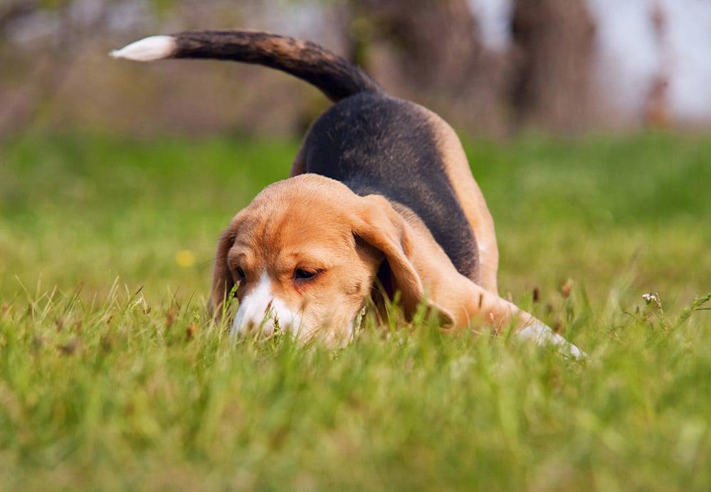 bigstock-Playful-Beagle-Puppy-In-Grass-44668432