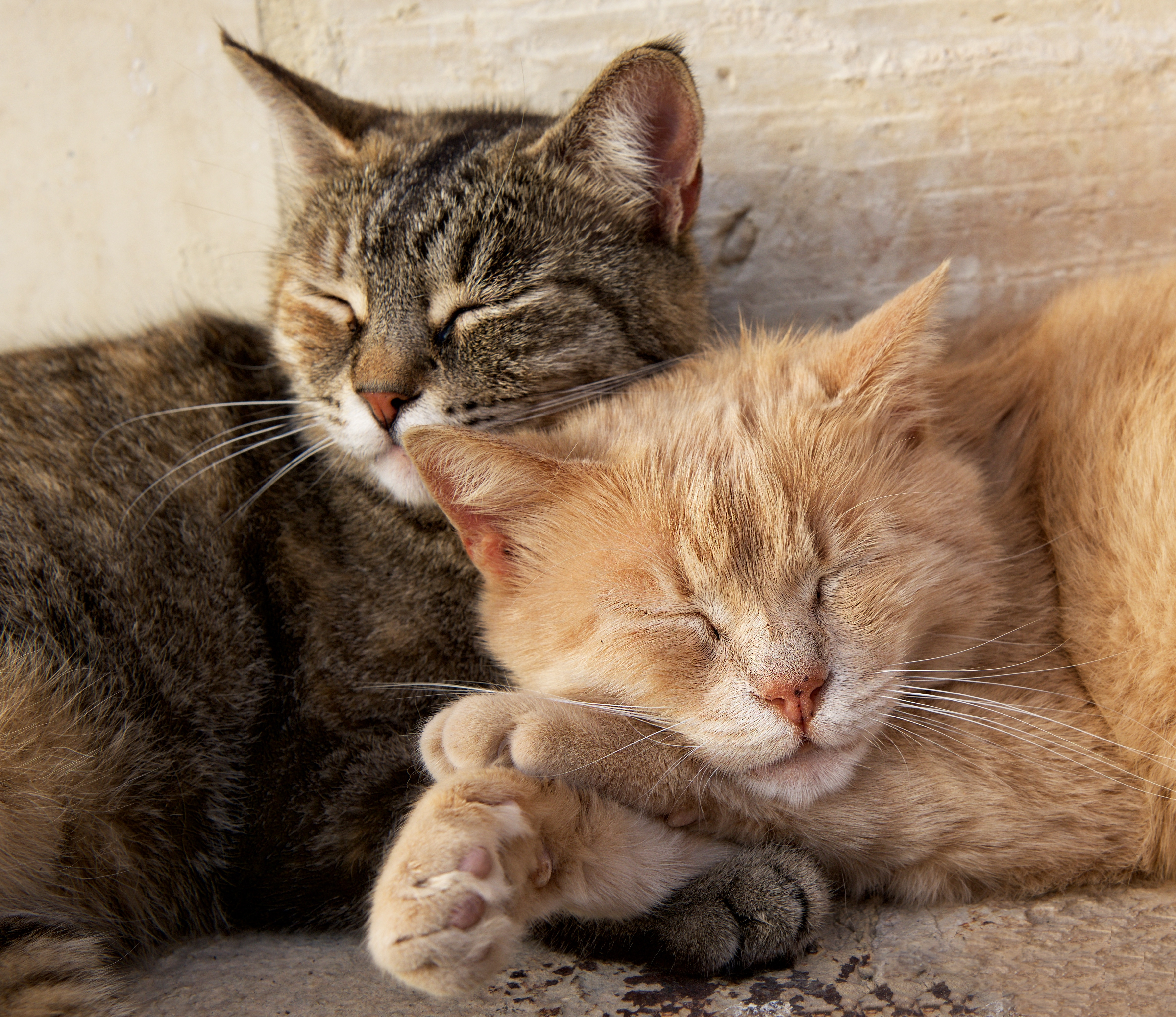 bigstock-Portrait-Of-Two-Cats-Brown-An-239843755