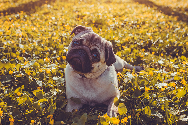 bigstock-Pug-Dog-Walking-In-Spring-Fore-237292060