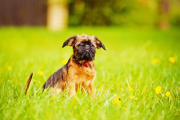 bigstock-adorable-brussels-griffon-pupp-64573285