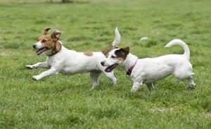 bigstock-running-dogs-7680610