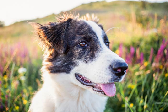 cute-shepherd-dog-in-spring-field