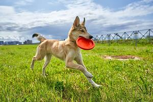 dog-with-frisbee-spring