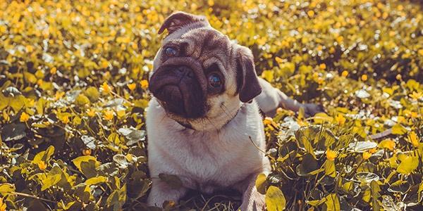 pug-listening