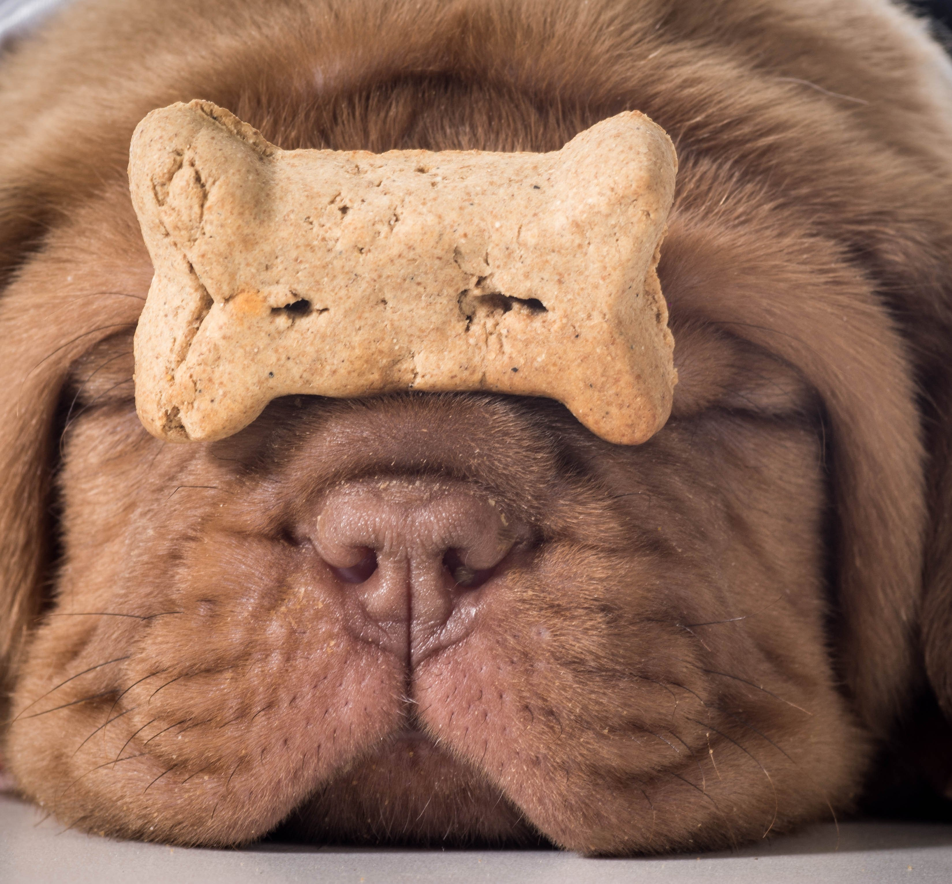 bigstock-dog-with-a-bone--dogue-de-bor-64612246